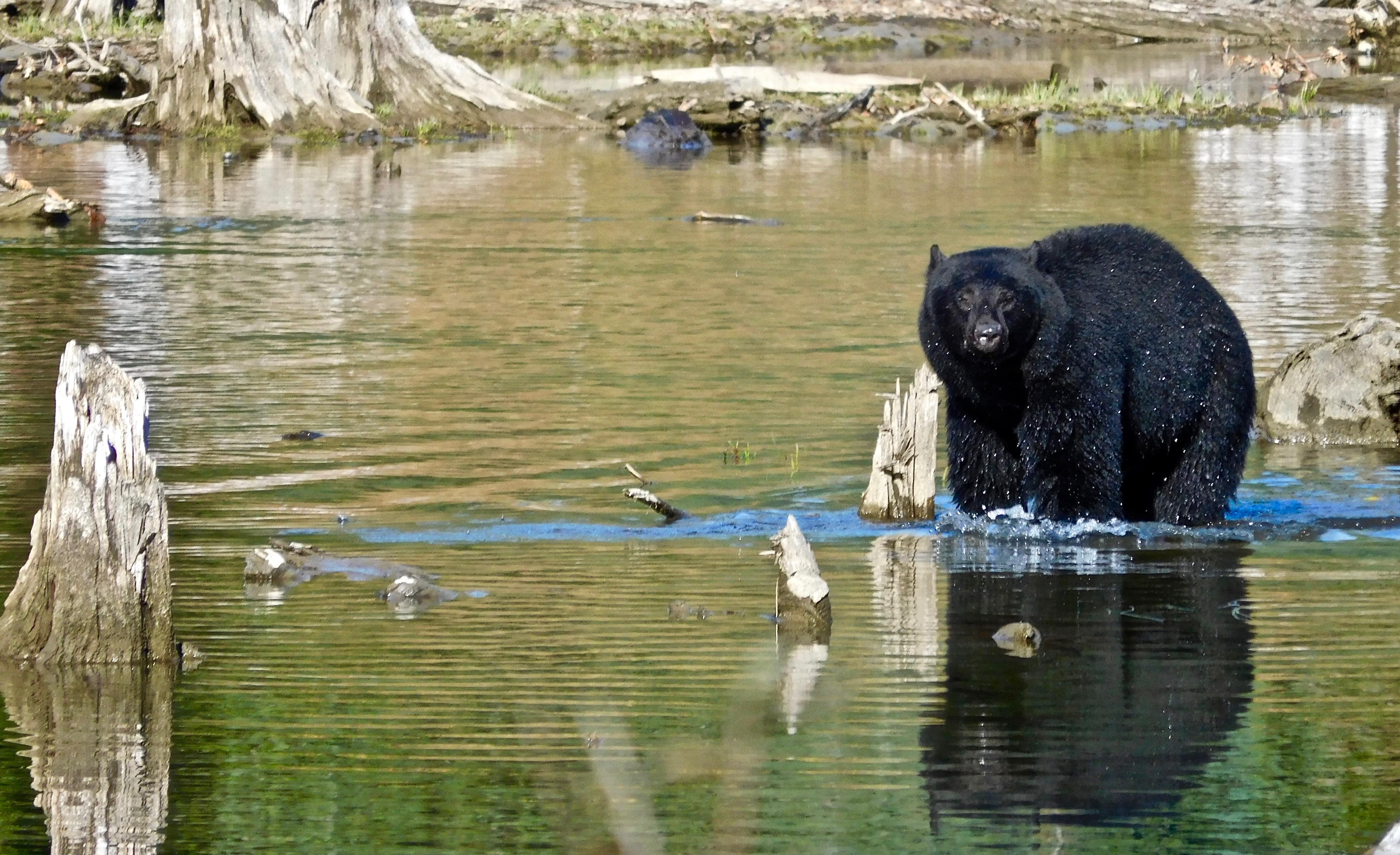 Black Bear, Seeing by Larry Weishuhn